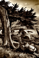 Old Cypress Tree_sepia