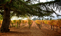 The Old Vineyards Pine