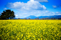 Mustard Flower Prairies